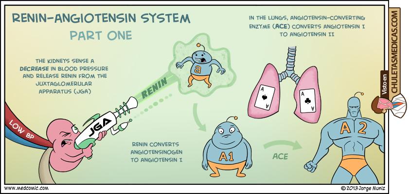 El Sistema Renina-Angiotensina-Aldosterona como nunca lo habías visto chuleta parte 1