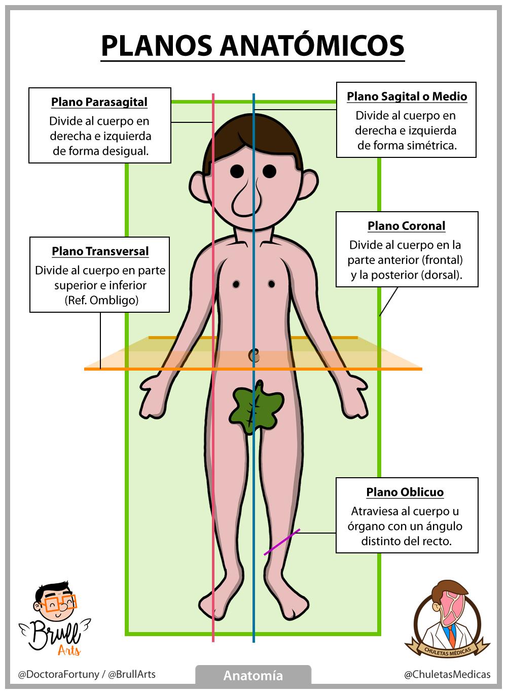 Anatomía Básica: Posición y Planos Anatómicos - Chuletas Médicas