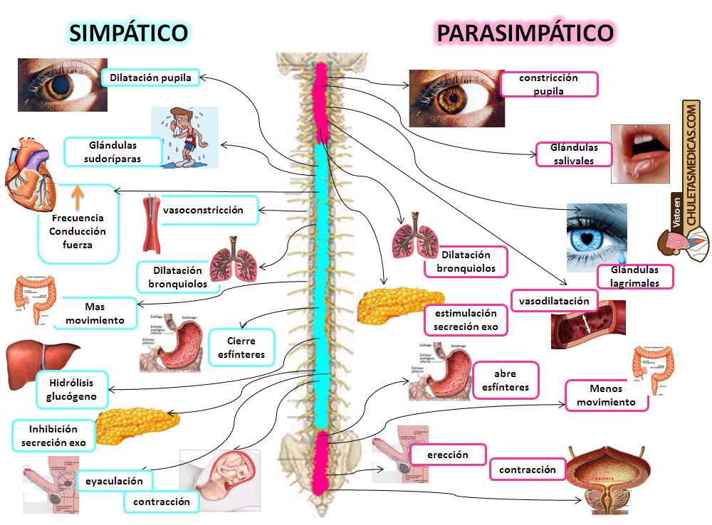 Fisiología Básica del Sistema Nervioso Autónomo Chuleta