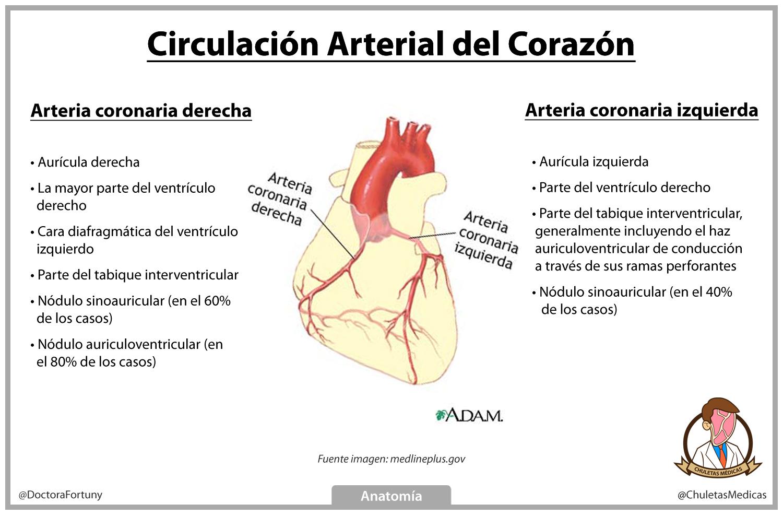 Circulación Arterial del Corazón Chuleta